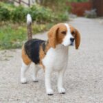 tunemezelt beagle