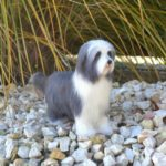 tunemez bearded collie
