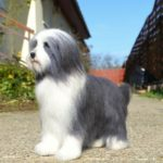 tunemezelt bearded collie