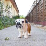 tunemezelt angol bulldog
