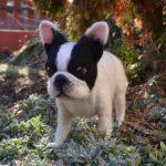 francia nemezelt bulldog